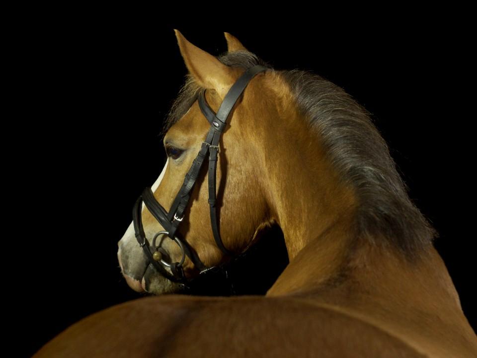 Pony Bumblebee beim Pferdefotograf